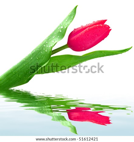dewy tulip isolated on a white - stock photo