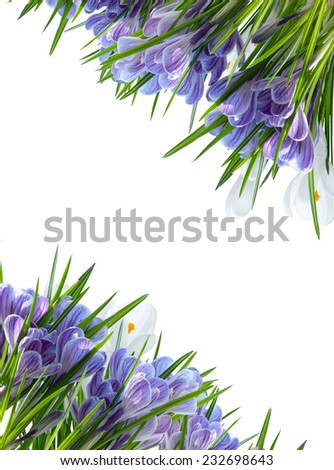 diagonal white and blue crocus frame isolated - stock photo