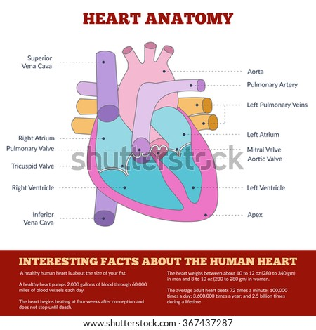 Diagram of human heart anatomy and circulatory system. Circulation of blood through the heart for basic medical education, clinics and schools. Info graphics. Raster version - stock photo