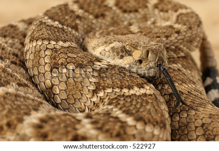 Diamondback poised to strike with forked tongue out - stock photo