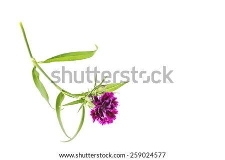 Dianthus - stock photo