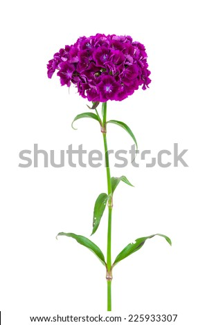 Dianthus barbatus, sweet william, flower isolated on white background with clipping path - stock photo