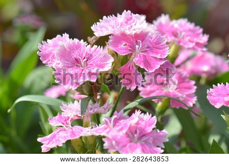 Dianthus Chinensis Flowers - stock photo