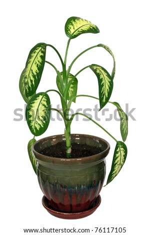 Dieffenbachia, house plant isolated on white background with clipping path - stock photo