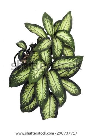 Dieffenbachia isolated on white background  - stock photo