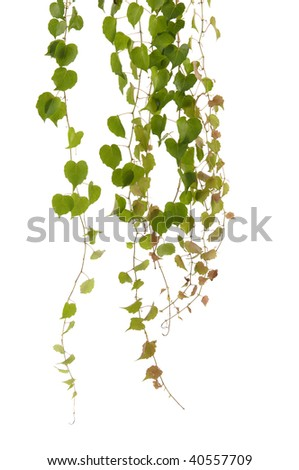 Different of green ivy - stock photo
