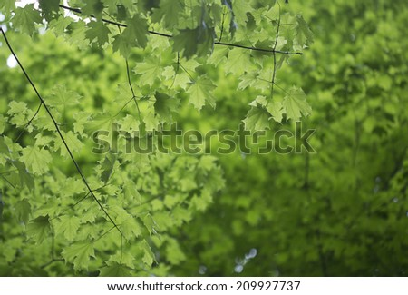 diffuse green background of maple leaves - stock photo