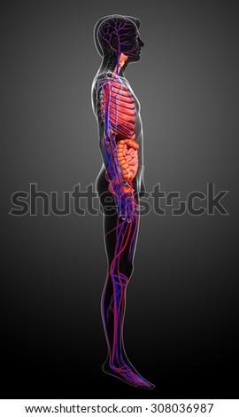 Digestive and circulatory system of male body artwork - stock photo