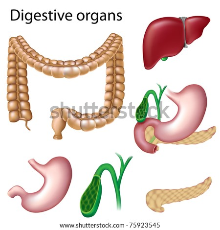 Digestive organs isolated - stock photo
