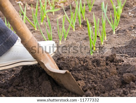 digging with spade garden ground in spring near to sprouts of garlic - stock photo