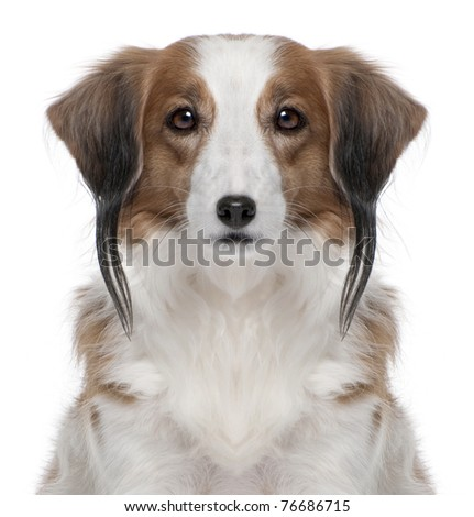 Digital enhanced of a Kooiker Hound with piercing, 7 years old, in front of white background - stock photo
