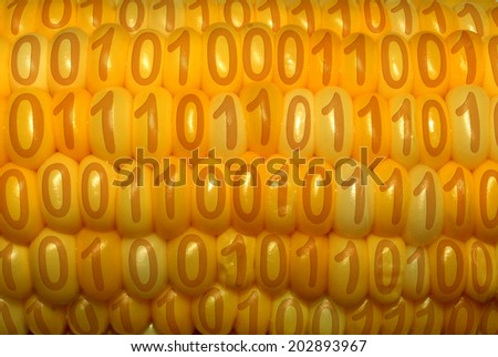 Digital food concept as a close up of a corn cob with binary code on each of the kernels as a symbol of genetically modified nutrition technology and agriculture crop information. - stock photo