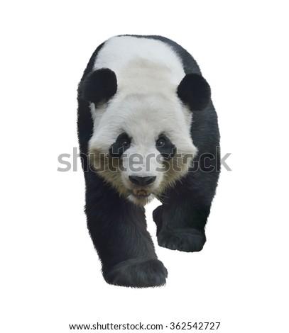 Digital Painting of Giant Panda Bear isolated on white - stock photo