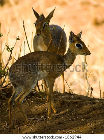 Dik-dik - stock photo