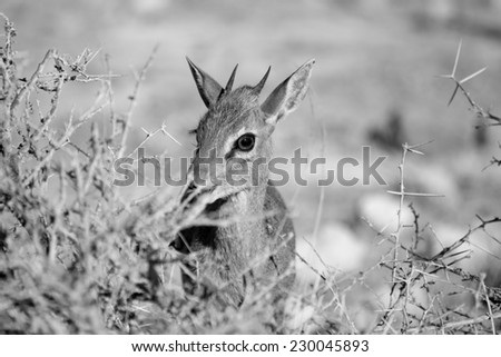 Dik-Dik, Etosha National park, Namibia - stock photo