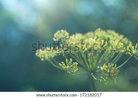 Dill flower against blue green background. Selective focus, main focus on front left blossom - stock photo