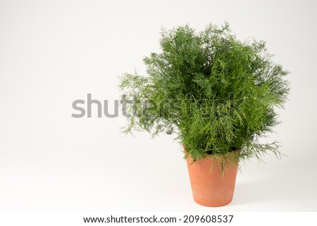Dill in a pot - stock photo