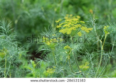 dill plant and flower as agricultural background - stock photo