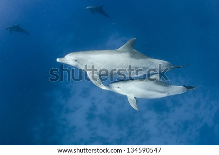 Dilphins swimming in clear blue ocean - stock photo