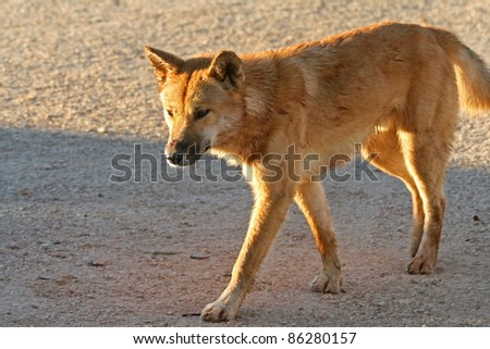 Dingo, Australia - stock photo