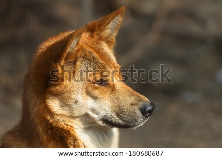 dingo in detail - stock photo