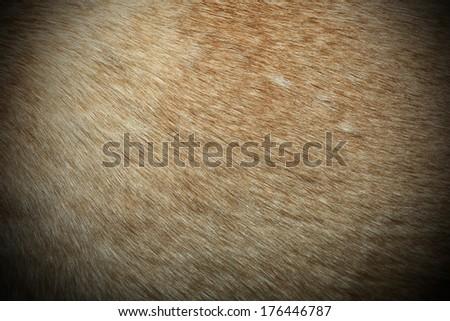 dingo textured fur, image taken on a wild australian real animal - stock photo