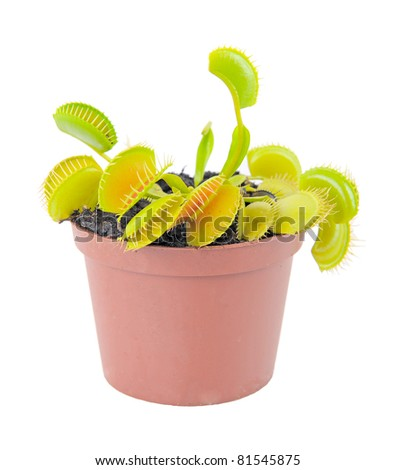Dionaea muscipula - stock photo