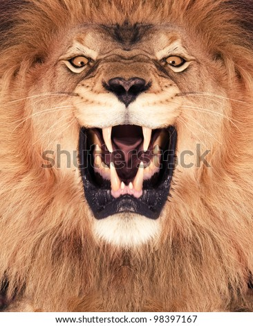 Direct frontal shot of a Lion roaring. - stock photo
