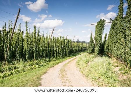 Dirt road along a hop garden in Bavaria - stock photo
