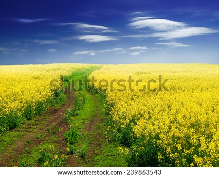 Dirt road between canola fields on a farm leading away from viewer - stock photo