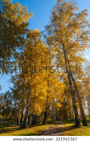 Dirt road through birch grove with autumn golden birch trees along the lake - stock photo