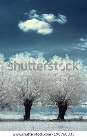 dirt road with willows in the infrared - stock photo