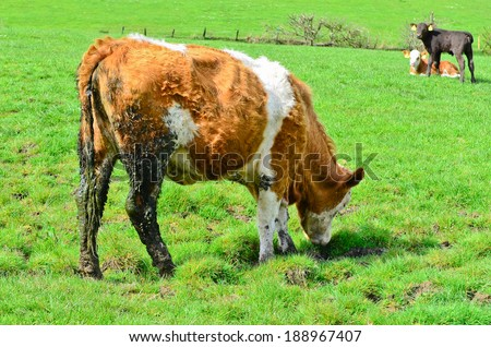 Dirty cow - stock photo