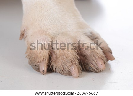 dirty dog feet or paw on white - stock photo