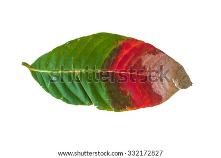 Dirty Red, Green, Brown leaf isolated on white background - stock photo
