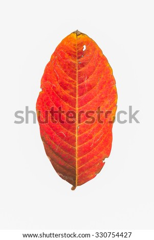Dirty Red  leaf isolated on white - stock photo