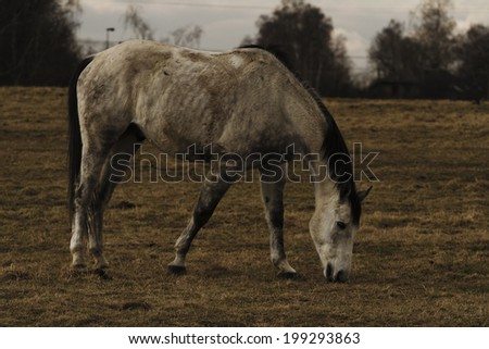 Dirty white horse grazing in a meadow.  - stock photo
