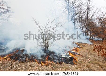 Disaster in oak forest fire in winter woods - stock photo