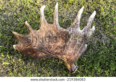 discarded moose antlers on the grass, horizontal - stock photo