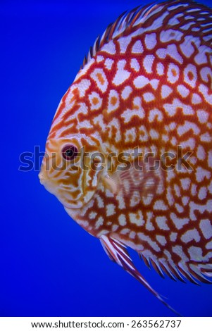 Discus fish , Checkorboard turquoise close-up body - stock photo