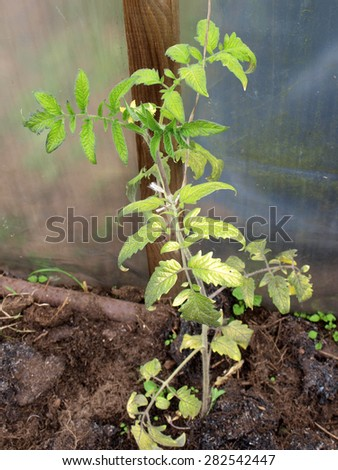 Disease damaged tomato plant leaves view close up - stock photo