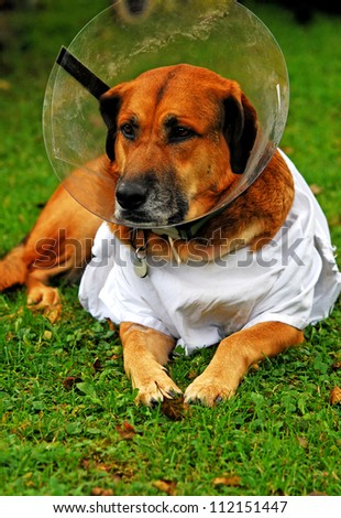diseased dog lying in the lawn wearing a toby collar and a white shirt - stock photo