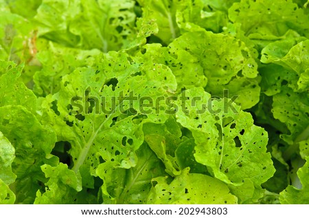 Diseases and insect pests of lettuce leaves - stock photo