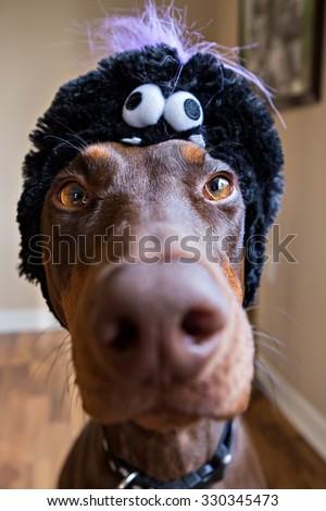 Disgruntled Doberman with Halloween hat  - stock photo