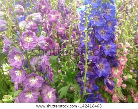 Display of delphiniums in assorted colours - stock photo