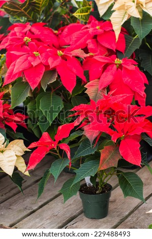 Display of red poinsettia flowers in pots - stock photo