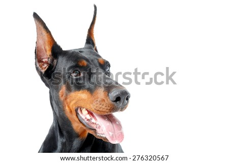 Distracted attention.  Close up of doberman pinscher with opened mouth on white isolated background. - stock photo