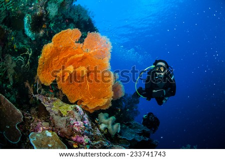 Diver and sea fan Melithaea in Banda, Indonesia underwater photo. There is mushroom leather coral, the diver looking the gorgonian. - stock photo