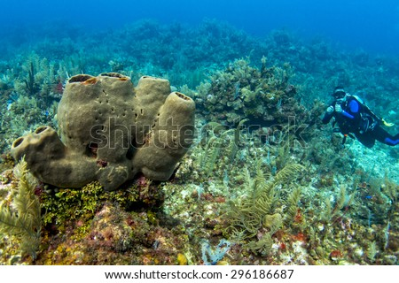 Diver with tube sponges - stock photo