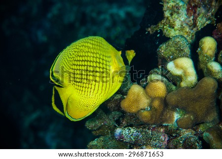 diver yellow fish scuba diving bunaken indonesia sea reef ocean - stock photo